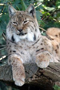 Luchs, Zoo Zagreb