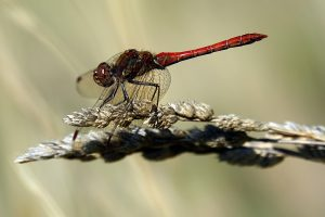 Libelle, Šibenik, Krotien