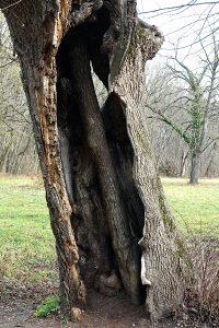 Baum im Baum, Naturpark DIE WÜSTE Mannersdorf