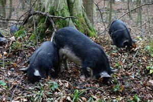 Wilde Schweine, Naturpark DIE WÜSTE Mannersdorf